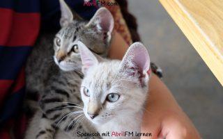 139. Die Katze- Spanisch mit AbrilFM lernen