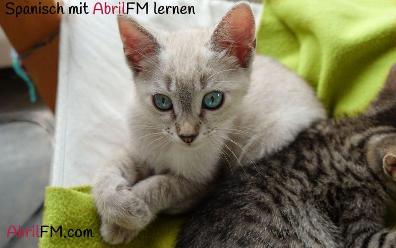 37. Die Katze- Spanisch mit AbrilFM lernen