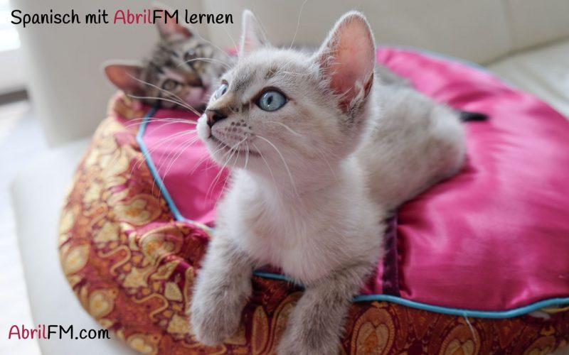 41. Die Katze- Spanisch mit AbrilFM lernen